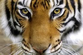 Yin el tigre, horóscopo chino, feng shui tradicional, zodiaco, año chino